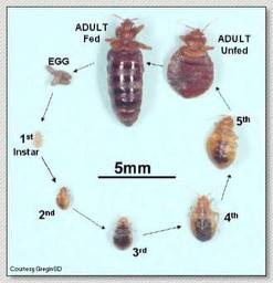 Bed Bugs Salvationusa Wordpress Com